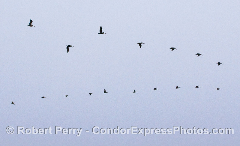 A V-shaped wedge line of Brown Pelicans (Pelecanus occidentalis).