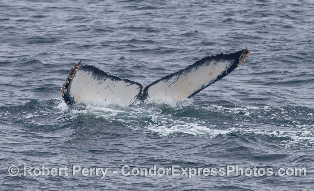 Image 4 of 4:  The ventral surface of the tail flukes are seen as the Humpback slips below the waves.  The underside of the tail flukes are used to identify and track individual Humpack whales through an on-going photo-ID program led by John Calambokidis of Cascadia Research.