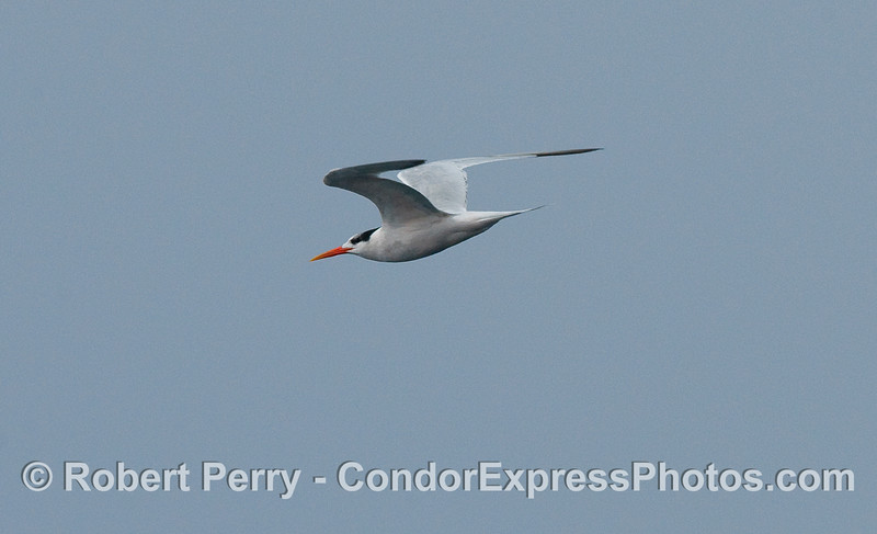 An Elegant Tern (Sterna elegans) in flight.