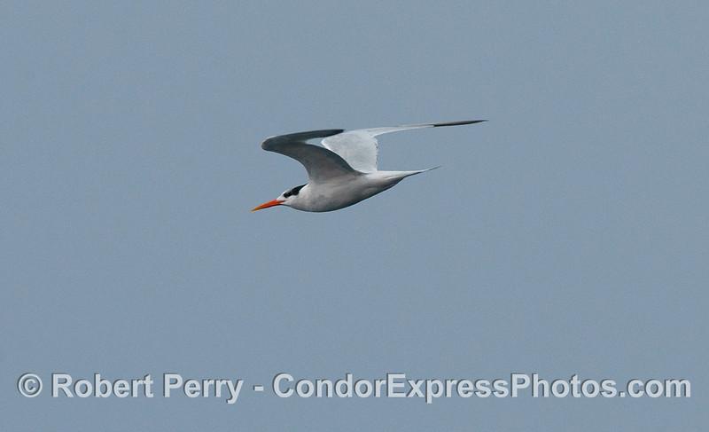 An Elegant Tern (Sterna elegans) in flight.