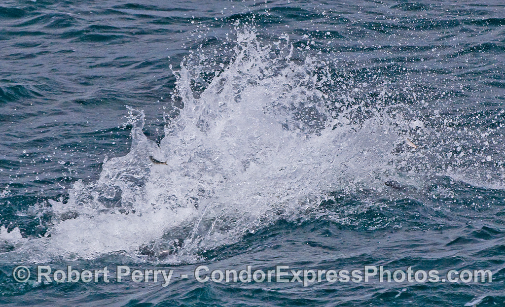 Powerful plume of spray as a Common Dolphin feeds.  Anchovies can be seen leaping into the air, out of the way.