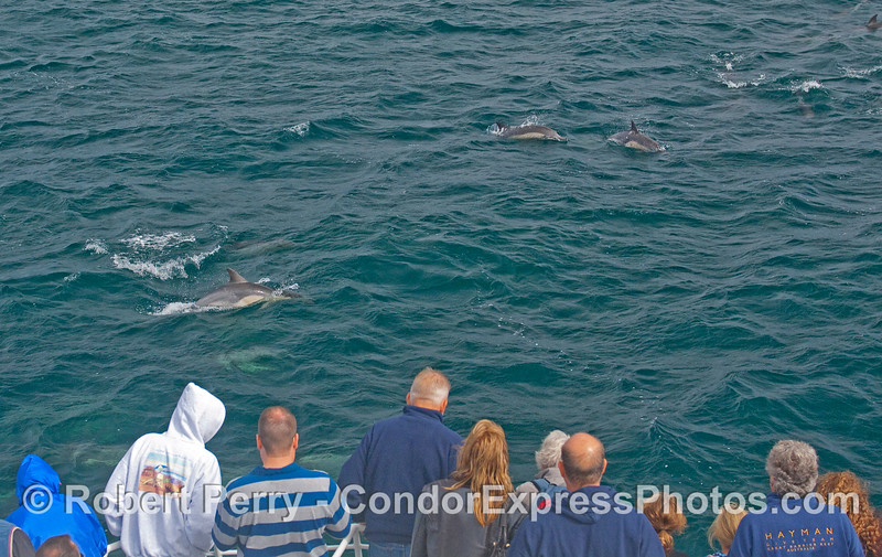 Common Dolphins visit the whalers on the Condor Express.