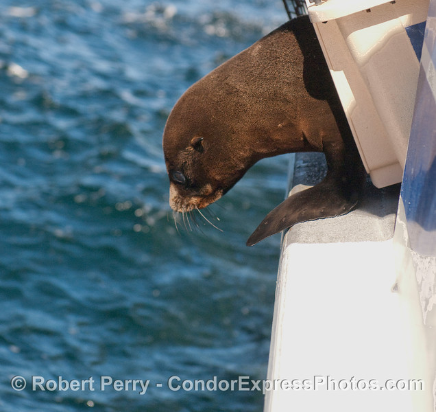 A young Northern Fur Seal (Callorhinus ursinus) gets mentally prepared to take the plunge back home.