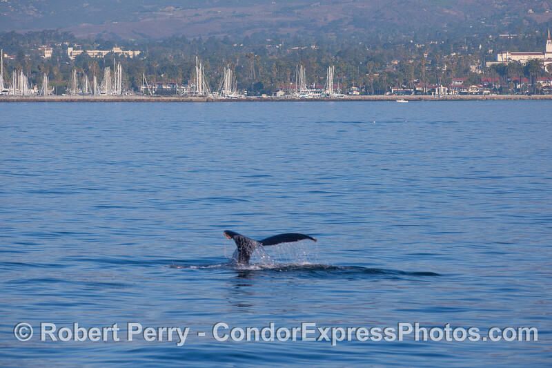 A Humpback Whale (Megaptera novaeangliae) shows its tail flukes near Santa Barbara Harbor.