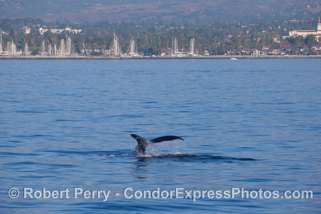 A Humpback Whale (Megaptera novaeangliae) shows its tail flukes near Santa Barbara Harbor.