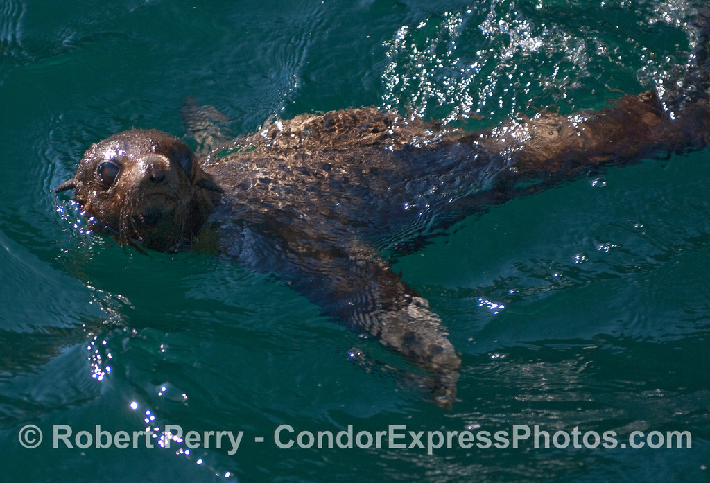 A young Guadalupe Fur Seal (Arctocephalus townsendi).