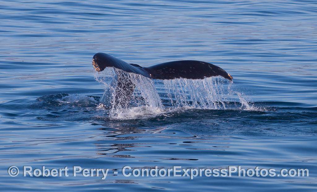 A Humpback Whale (Megaptera novaeangliae) tail fluke waterfall.