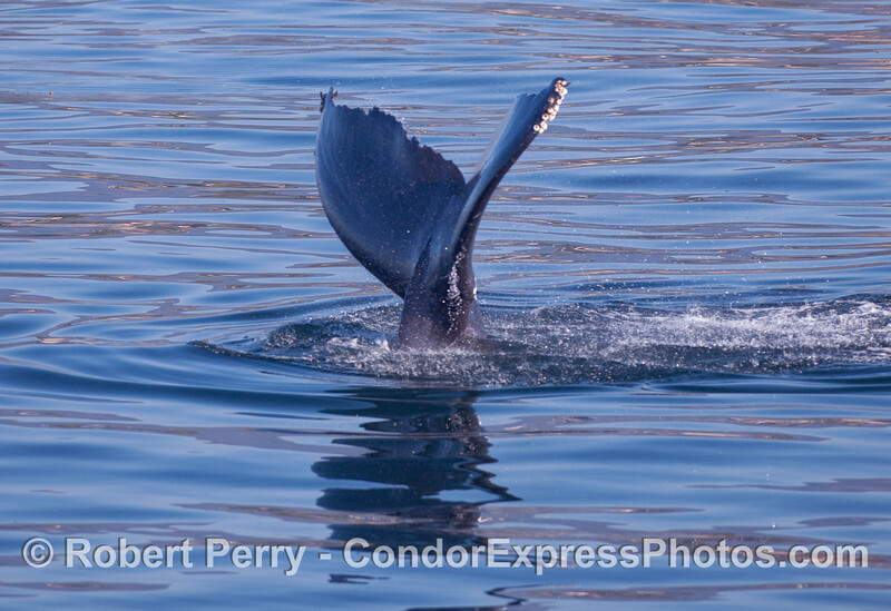 Image 3 a 3 shot sequence:  A Humpback Whale (Megaptera novaeangliae) kicks up its tail