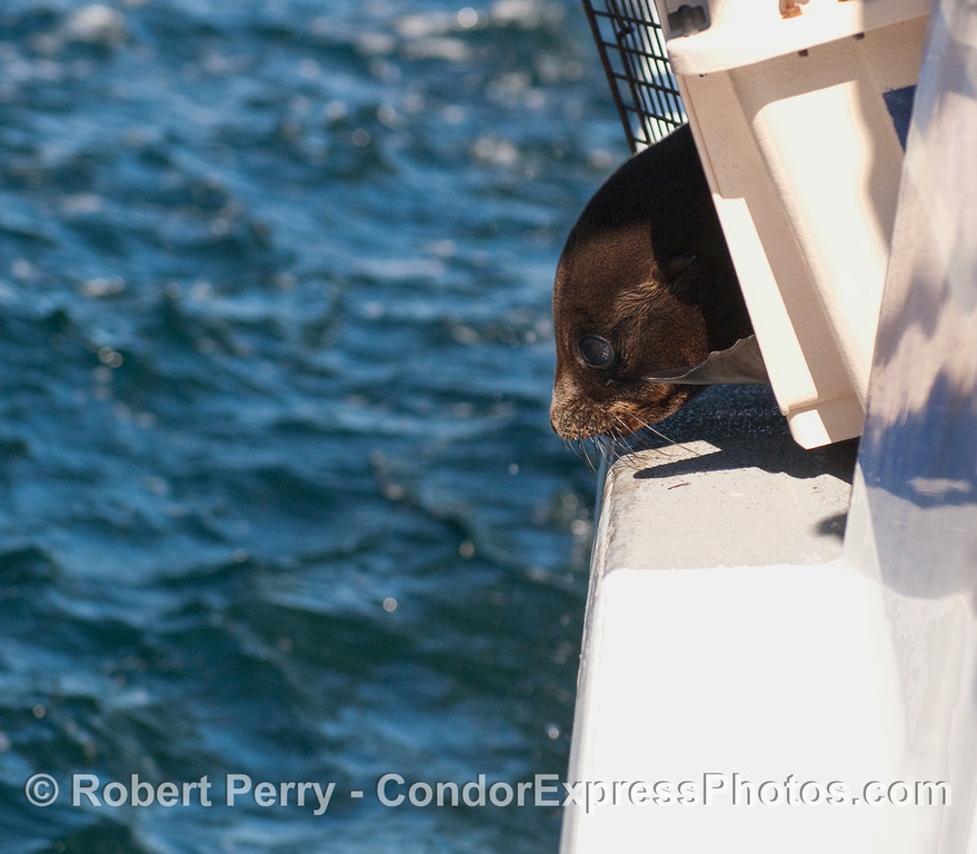 A young Northern Fur Seal (Callorhinus ursinus) peers out from its transportation kennel at the blue waters of Santa Cruz Island.