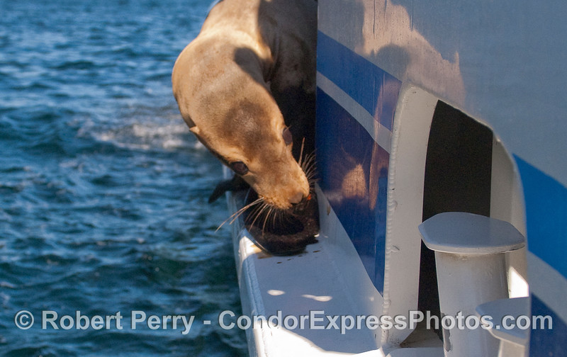 A young male California Sea Lion (Zalophus californianus) takes a look around on board the Condor Express.