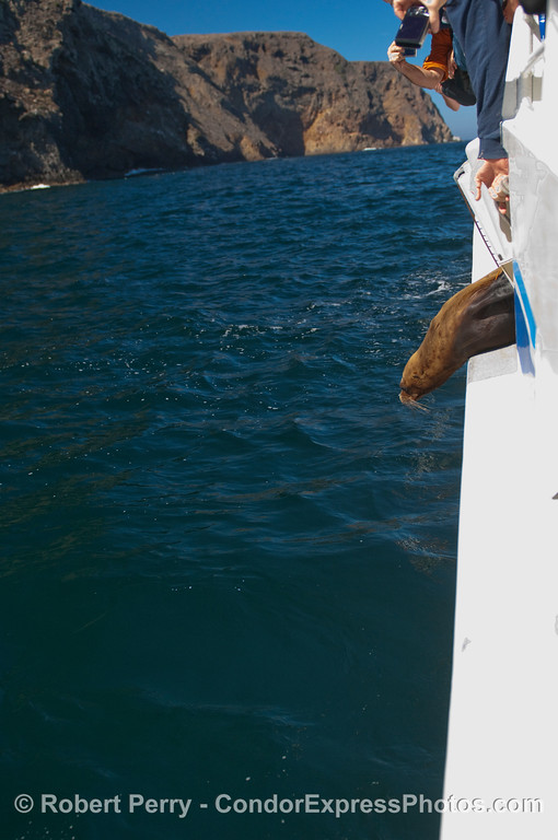 The full frame photo of the previous image, showing a California Sea Lion (Zalophus californianus) peering at the ocean before leaping overboard and returning home.