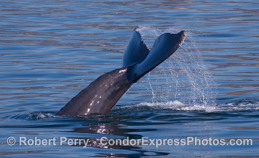 Image 2 a 3 shot sequence:  A Humpback Whale (Megaptera novaeangliae) kicks up its tail