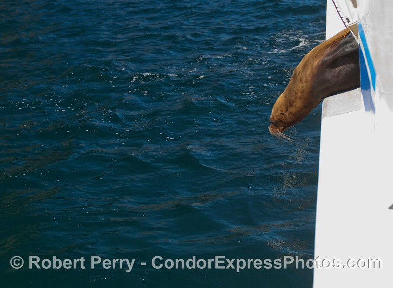 A close cropped enlargement of the next photo, showing a California Sea Lion (Zalophus californianus) peering at the ocean before leaping overboard and returning home.
