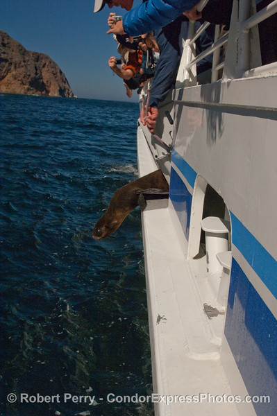 A Guadalupe Fur Seal (Arctocephalus townsendi) gets ready to take a leap back into the wild.