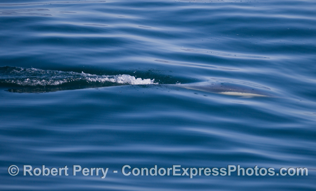 A Common Dolphin (Delphinus capensis) leaves a sharp wake behind it as it takes off on a small open ocean wave.