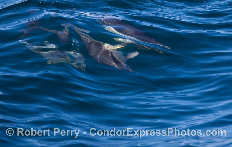Four Common Dolphins (Delphinus capensis) create an abstract pattern as they glide under the blue waves.