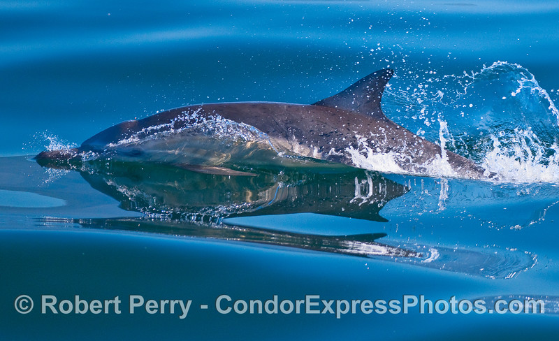 A Common Dolphin (Delphinus capensis) slicing through the glass.