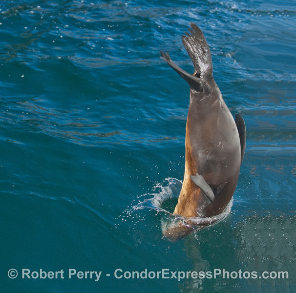 A close cropped enlargement of the next image, showing a California Sea Lion (Zalophus californianus) hitting the water head first.