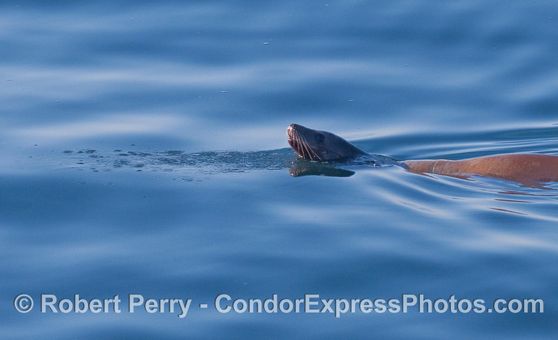 A California Sea Lion (Zalophus californianus) patrols a glassy ocean.