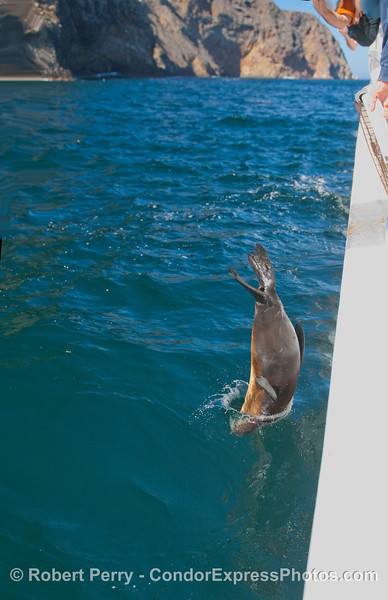 The full frame image from whence the enlargement in the previous image came, showing a California Sea Lion (Zalophus californianus) hitting the water head first.