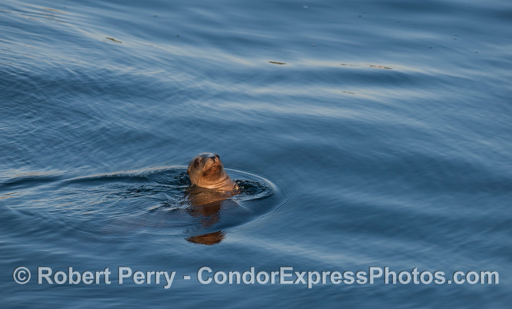 A very relaxed California Sea Lion (Zalophus californianus).