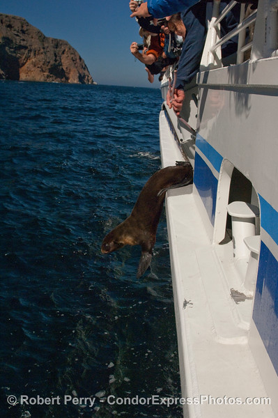 A Guadalupe Fur Seal (Arctocephalus townsendi) takes a leap back into the wild.