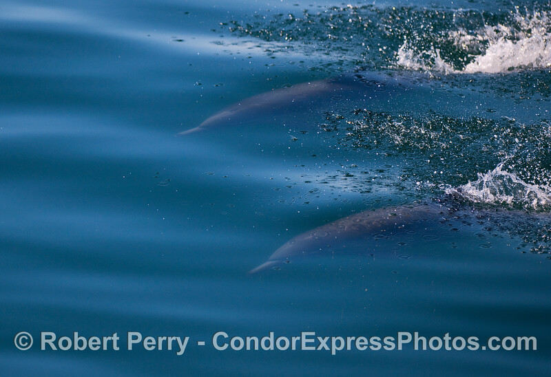 Two Common Dolphins (Delphinus capensis) under the mirror glass surface.
