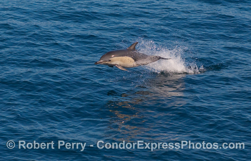 A close up enlargement of a leaping Common Dolphin (Delphinus capensis).   The full frame image is next.