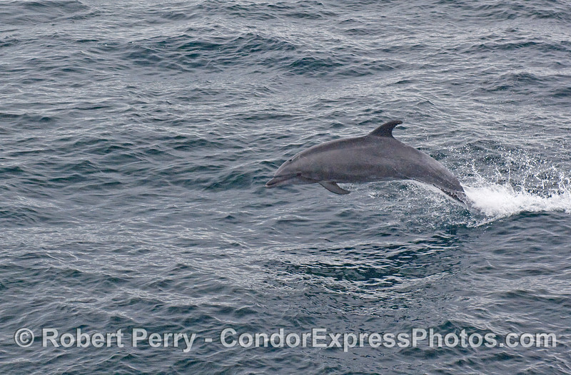 Another leaping Offshore Bottlenose Dolphin (Tursiops truncatus).