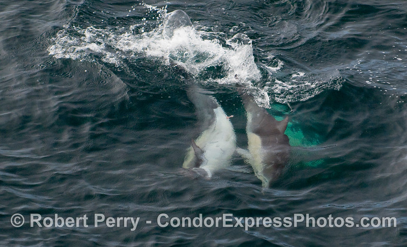 Common Dolphins (Delphinus capensis) engaged in mating behavior.