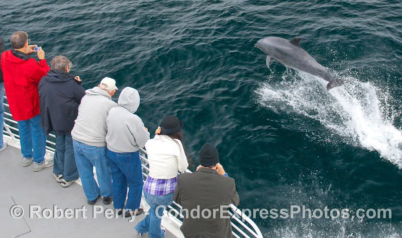 An Offshore Bottlenose Dolphin (Tursiops truncatus) takes a flying leap to impress the whalers on board the Condor Express.