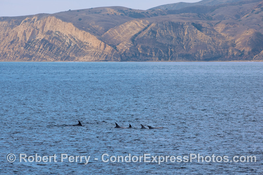 Risso's Dolphins (Grampus griseus) with Smuggler's Cove and Sandstone Point, Santa Cruz Island, in back.