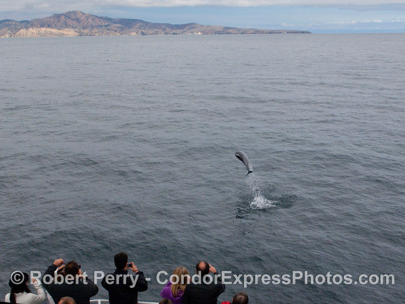 An acrobatic Offshore Bottlenose Dolphin (Tursiops truncatus) entertains the whalers on board the Condor Express.  The east end of Santa Cruz Island, Smuggler's Cove and Sandstone Point, can be seen in the background.