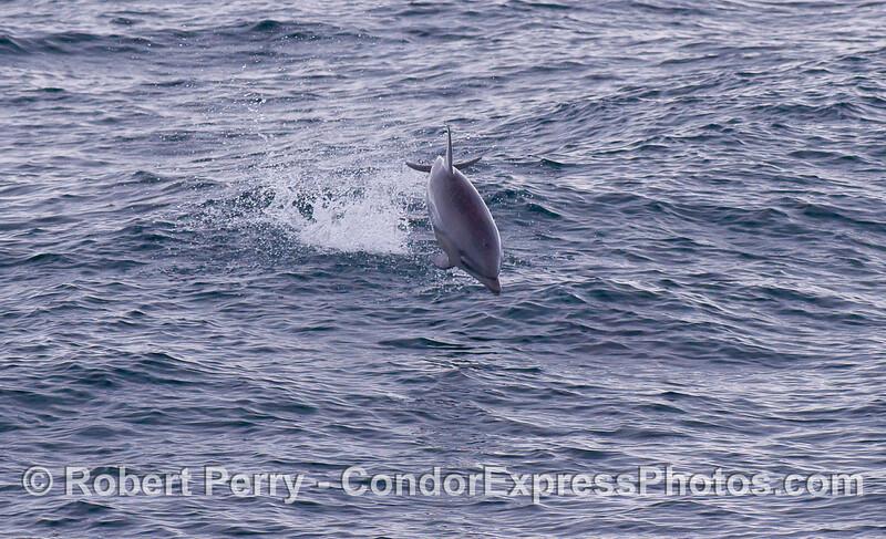 Offshore Bottlenose Dolphin (Tursiops truncatus).