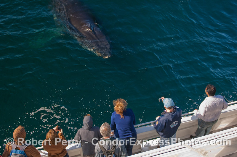 Whalers on board the Condor Express shoot a friendly Humpback.