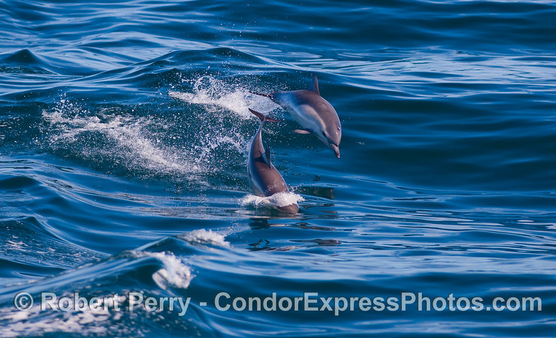 Two Common Dolphins cavort.