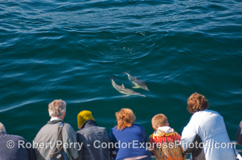 Whalers on the Condor Express get a close visit by two Common Dolphins.