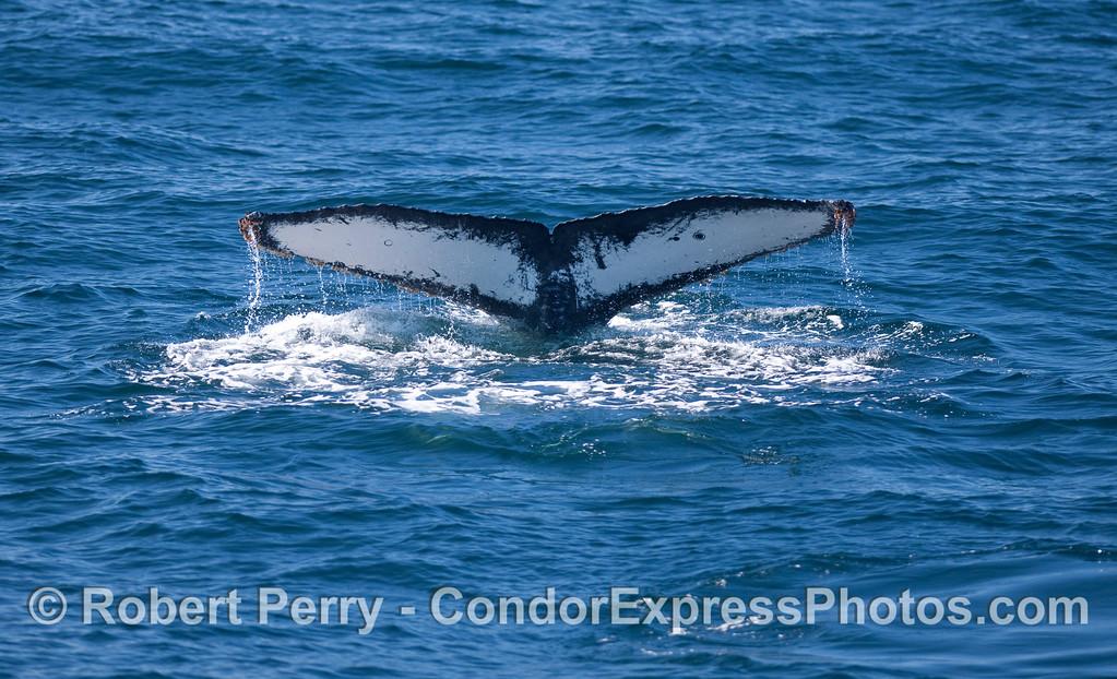 Humpback Whale tail fluke.