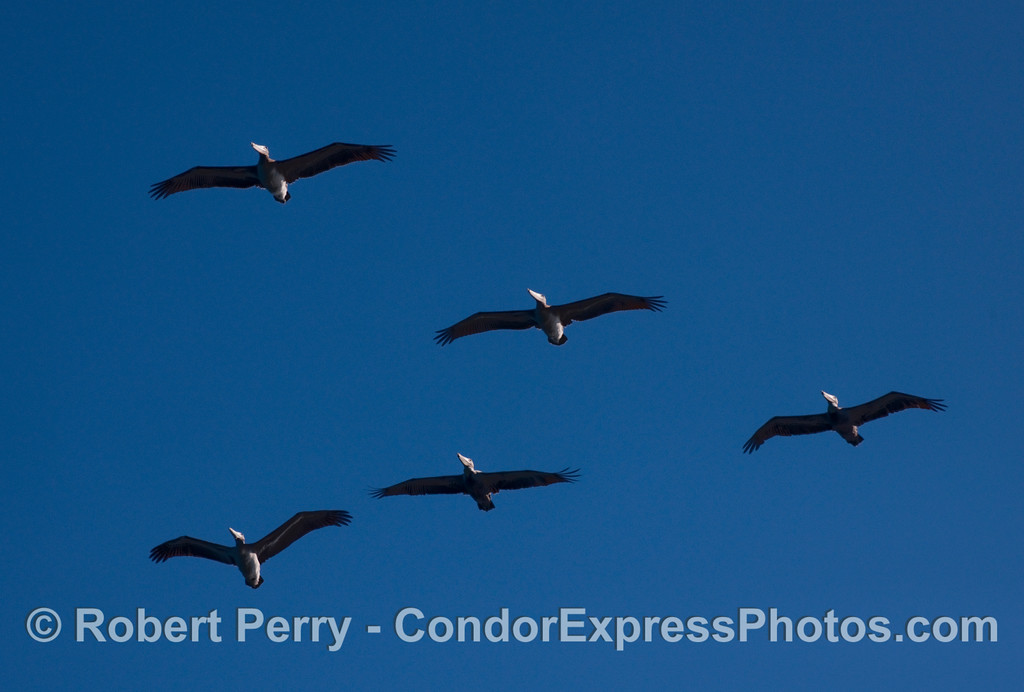 Five Brown Pelicans.