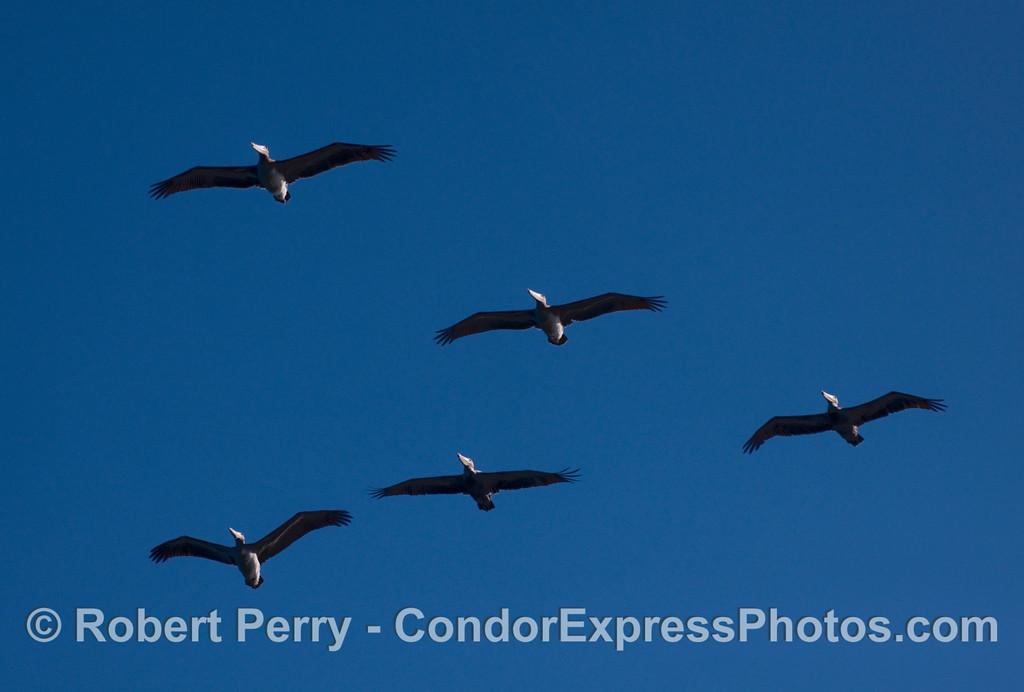 Five Brown Pelicans.