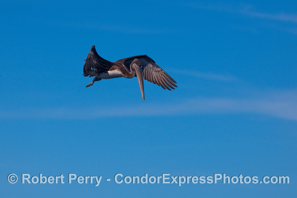 A young Brown Pelican in flight.