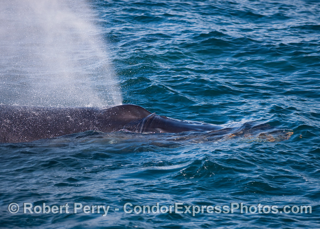 Close look at the blowholes of a Humpback Whale.