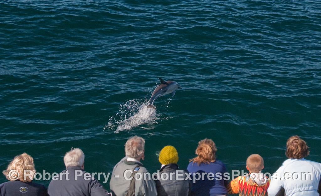 A leaping Common Dolphin leads the Condor Express onward!