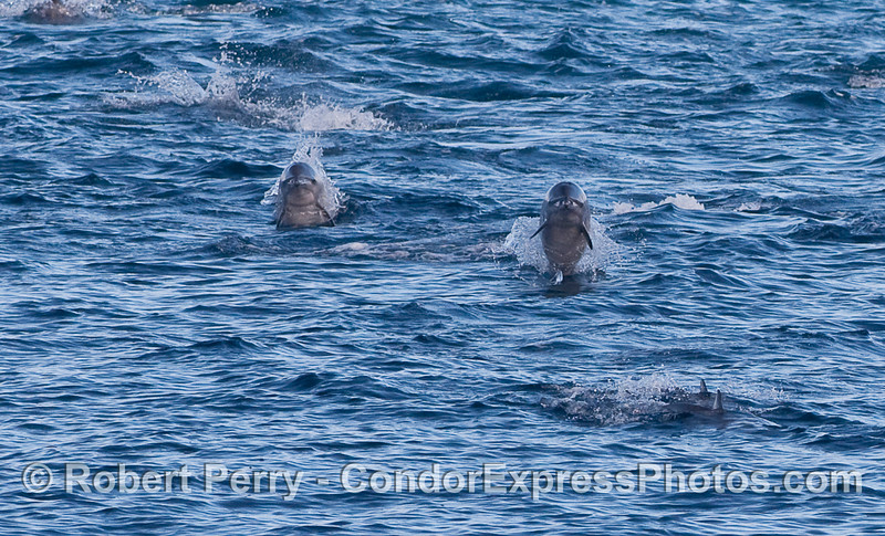 Two Offshore Bottlenose Dolphins head straight for the Condor Express.  The crazy light patterns on their heads makes it look like both animals are cross-eyed.