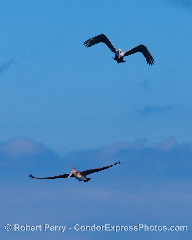 Two Brown Pelicans (Pelecanus occidentalis) soaring across the blue sky.