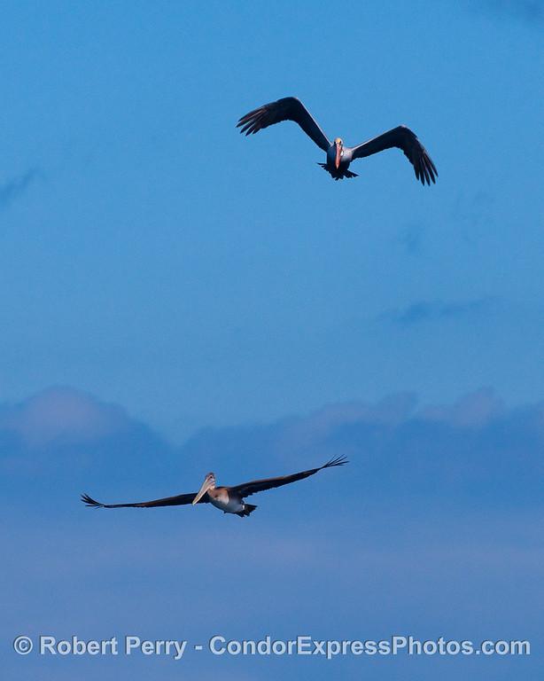 Two Brown Pelicans (Pelecanus occidentalis) soaring across the blue sky.