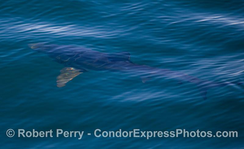 Blue Shark (Prionace glauca).