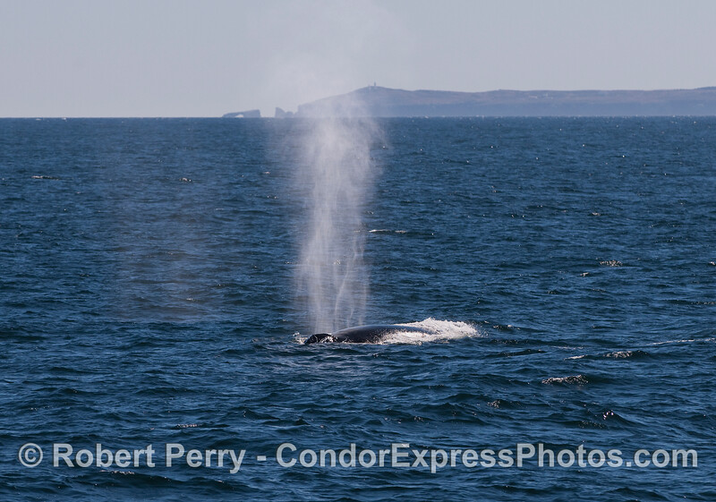 Humpback Whale with East Anacapa Island and Arch Rock in the background.