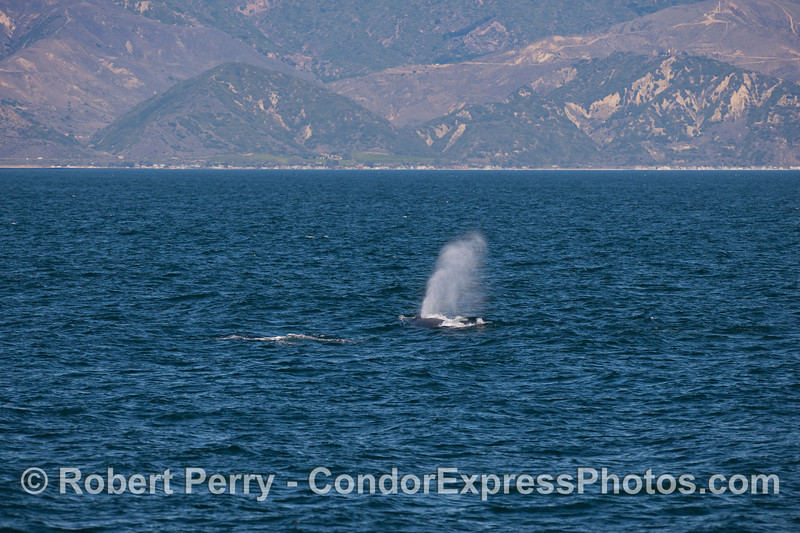 "The local favorite Humpback named ""Rope"" just off the Ventura Beaches."