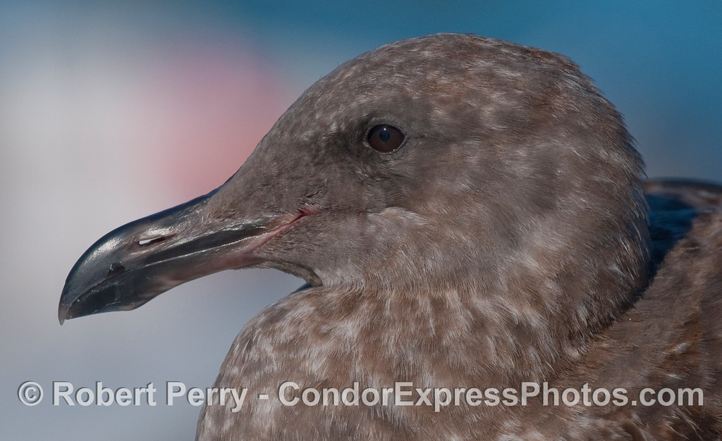 A juvenile gull (Larus sp.) perched on a handrail near the Condor Express.
